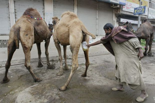 A man collects the camel urine prior to the slaughtering to mark